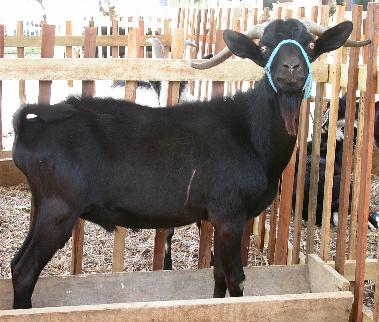 "100's of Black Goats sacrificed by President Zardari  to ward off ""Evil Eye"""